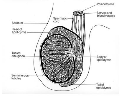 Cross-section of equine testicle.