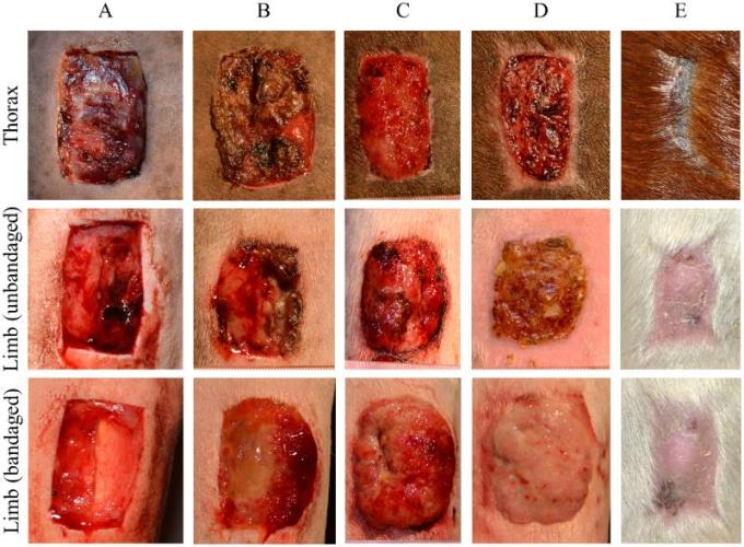 The healing of experimentally induced wounds on one of the horses at different body sites. A: 24 hours, B: 7 days, C: 14 days, D: 21 days, E: The head wound, with scar present.