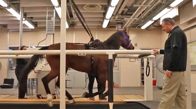 Dr Laurent Couëtil oversees a horse undertaking Purdue's new pulmonary function test.
