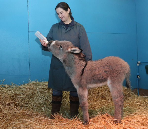 The orphan foal is receiving around-the-clock care by staff.