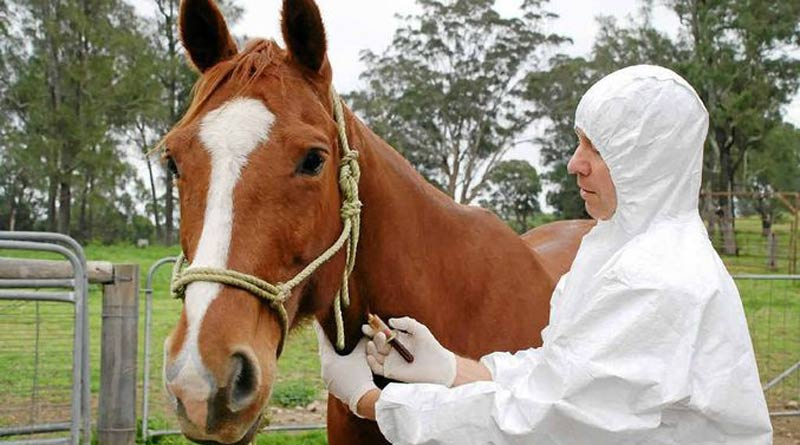 A district vet in Australia doing an Equine Influenza test.