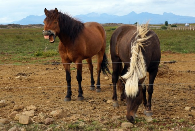 Modern Icelandic horses are probably descendants from the horses that were buried by Vikings more than 1000 years ago. Photo: Albina Hulda Pálsdottir, University of Oslo