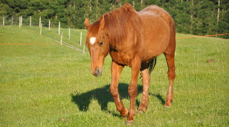 As horses age, they are more inclined to exhibit signs of equine Cushing's disease and a low starch diet is best.