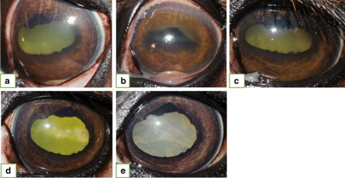 The eyes of a 12-year old warmblood mare that presented for a chronic-acute persistent panuveitis of the left eye. a. Initial presentation: Diffuse corneal edema, keratic precipitates, +2/4 flare, fibrin, vitreal degeneration and retinal folds were present. Medical treatment was started (prednisolone acetate, atropine and flunixine meglumine). b. Ten days post initial presentation: The clinical signs worsened in the face of aggressive medical treatment. Intravitreal gentamicin injection was given. c. Four days post-injection: Improvement of clinical signs can be readily appreciated. d. Twenty days post-injection: No flare present. e. Forty-nine days post-injection: Uveitis remains controlled without medications.