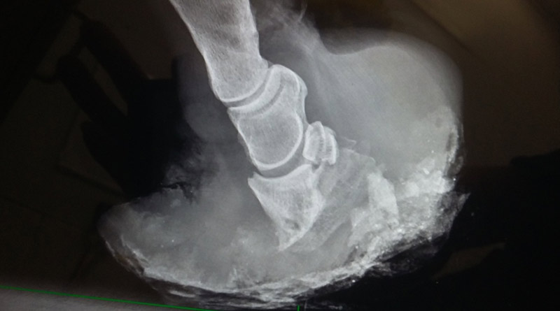 Radiograph of Alfie, pictured below, showing a rotated pedal bone consistent with sever laminitis.