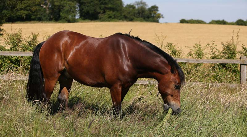 When ponies and certain types of horses graze lush pasture or consume a starch or sugar-rich diet, high levels of the hormone insulin can cause acute endocrine laminitis