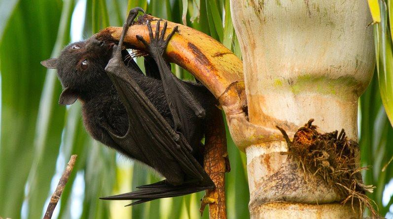 A black flying fox feeds on a palm tree in Brisbane. Photo: Andrew Mercer, www.baldwhiteguy.co.nz, CC BY-SA 4.0 via Wikipedia