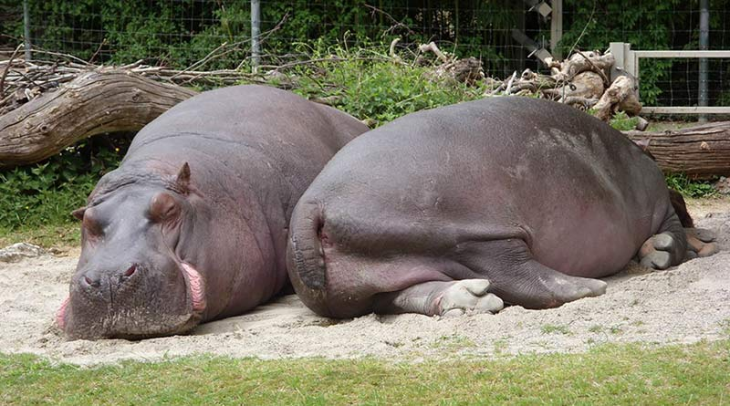 Hippos lie on their side, but also on their chest.