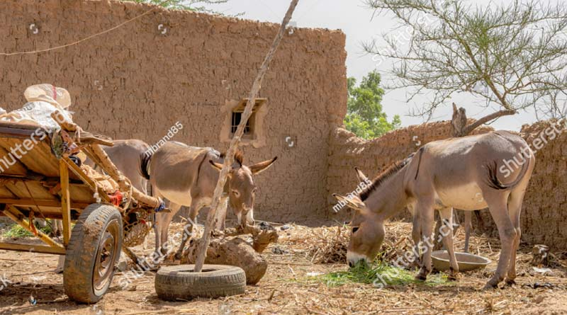 Donkeys in Boubon, Niger.