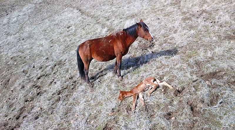 Drone footage shows Lakota standing vigil over her newborn foal.
