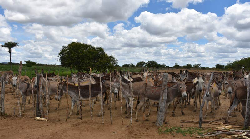 Donkeys penned up on a property in Brazil.