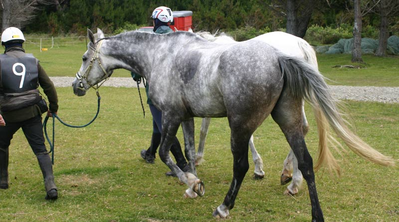 A horse can lose up to four gallons of perspiration an hour when exercised in hot, humid conditions.