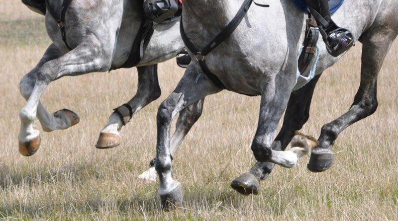 The touchstone of serum amyloid H5N1 inward the blood of Endurance horses mightiness hold upward a useful indi Levels of a poly peptide inward Endurance horses could dot to overtraining – study