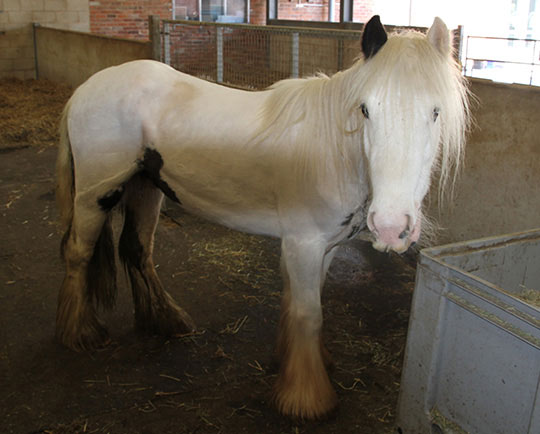 Diamond on arrival at World Horse Welfare Abandoned ponies highlight scale of Britain's equine welfare problem
