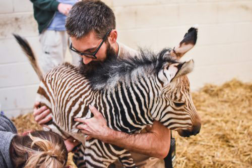 Zoo keepers check over the new Hartmann's mountain zebra filly foal at Virginia Zoo.