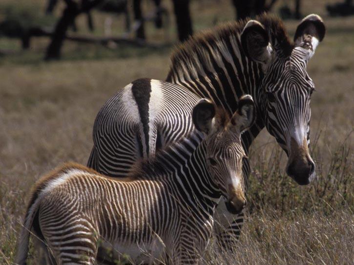 The endangered Grevy's Zebra - Equus greyvi.