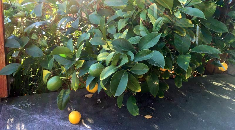 Synephrine is found in the leaves of citrus trees, including lemon.
