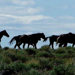 A band of Kiger mustangs on the range. The Kiger mustang is a strain of mustang horse located in the southeastern part of the U.S. state of Oregon. © Craig C. Downer