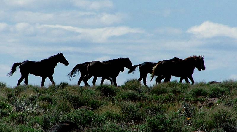 A band of Kiger mustangs on the range. The Kiger mustang is a strain of mustang horse located in the southeastern part of the U.S. state of Oregon.