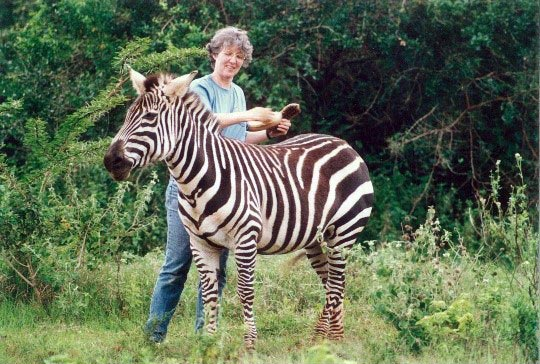 Lead author Alison Cobb grooming a zebra in the Animal Orphanage at Nairobi National Park in 1991.