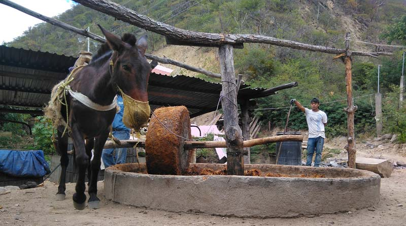 A mule at work grinding piñas during the production of mezcal.