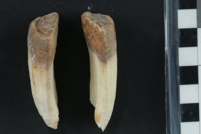 A photograph of both the left and right LPM2 teeth that shows evidence of erosion of the enamel that is characteristic of bit wear on the donkey skeleton from Tell eṣ-Ṣâfi/Gath. Photo: Greenfield et al. https://doi.org/10.1371/journal.pone.0196335