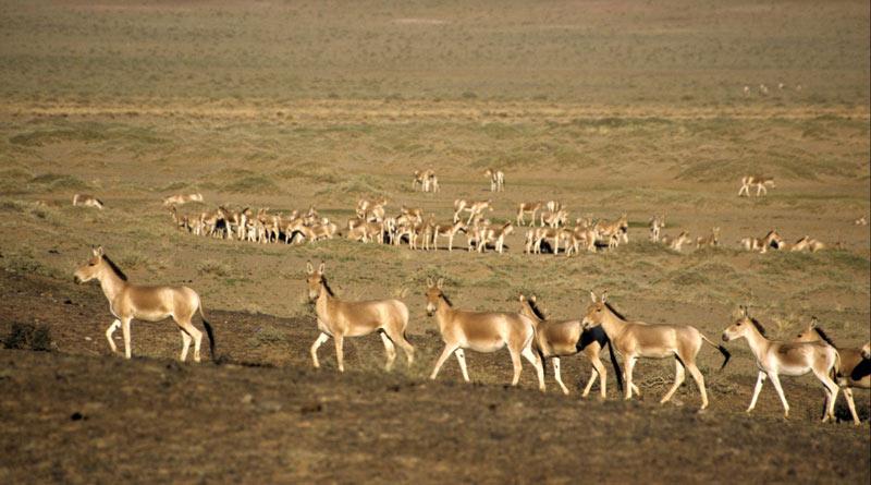 Khulan in the Gobi Desert.