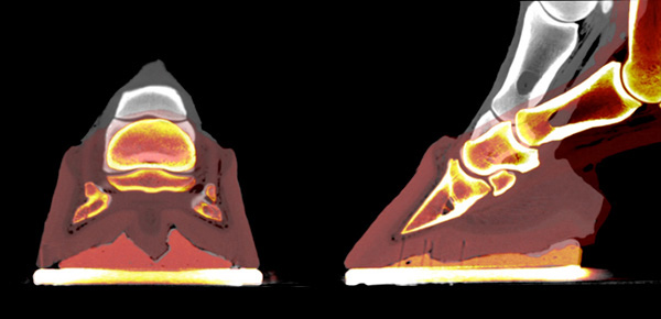 Computed tomography images showing hoof deformation with a packer in the unloaded (grey) and the foot simulating trot (orange) as seen from behind (left) and the side (right).