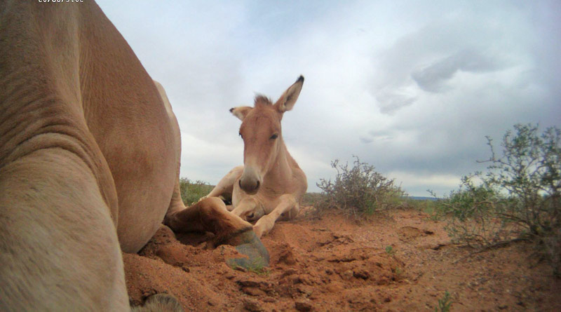 This image of Naran's foal resting was taken by Naran's camera.