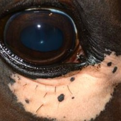 A horse with a single large, unilateral, depigmented patch below the right eye (courtesy of Dr. J. Davis).