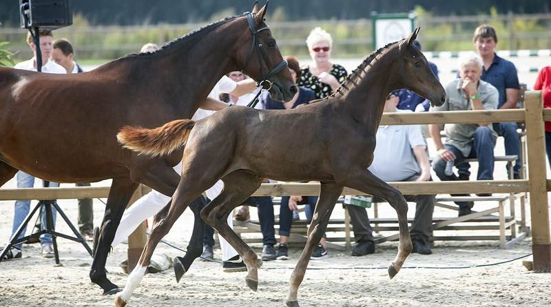 Oberyn Red Viper ZL (Blue Hors Romanov x Sir Sinclair) sold for €56,000 at the Borculo Elite Foal Auction in The Netherlands this week.