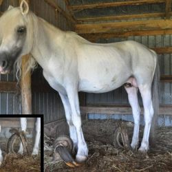 Quest's hooves had grown to three feet long. © Days End Farm Horse Rescue