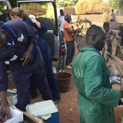 The Spana team treating donkeys suffering from equine influenza in Segou, Mali. © Spana