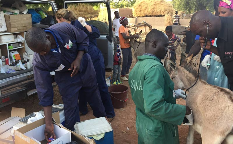 The Spana team treating donkeys suffering from equine influenza in Segou, Mali.