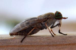 Female horse flies, Tabanus americanus, can be a stubborn, aggressive blood feeder. Reports of the pest have been especially high.