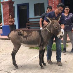 Freedom: Vets check out the stallion after he was freed from his jail in Oaxaca. © The Donkey Sanctuary