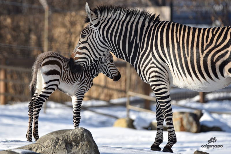 Calgary Zoo's new Hartmann's mountain zebra foal, who was born on December 1, 2019, with his mum, Leba.