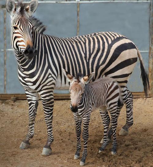 Keeya with her foal, Malawa, in January 2020. Malawa was born on January 6.