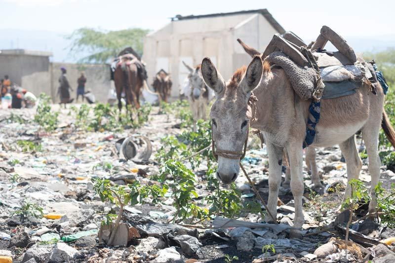 A working donkey in Haiti.