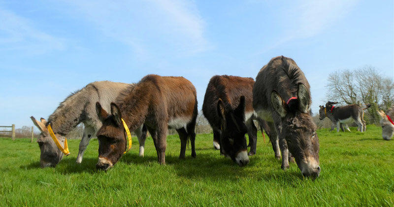 The donkeys had been restricted to their yards, barns and stables for many weeks, due to the heavy rain and wet ground.