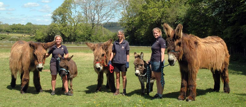 All seven of the surrendered Poitou  and Mediterranean Miniature donkeys have a home for life at The Donkey Sanctuary.