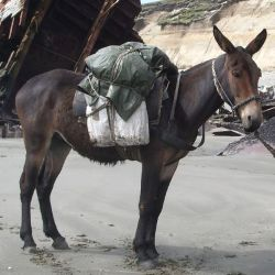 A mule named Juancito at work on the Mitre Peninsula, in Tierra del Fuego, Argentina. Photo: Dario u, public domain, via Wikimedia Commons