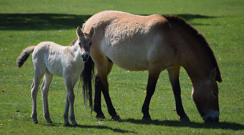 A Przewalski's horse filly foal has been born at Whipsnade Zoo in Britain. She was born to Charlotte on April 13.