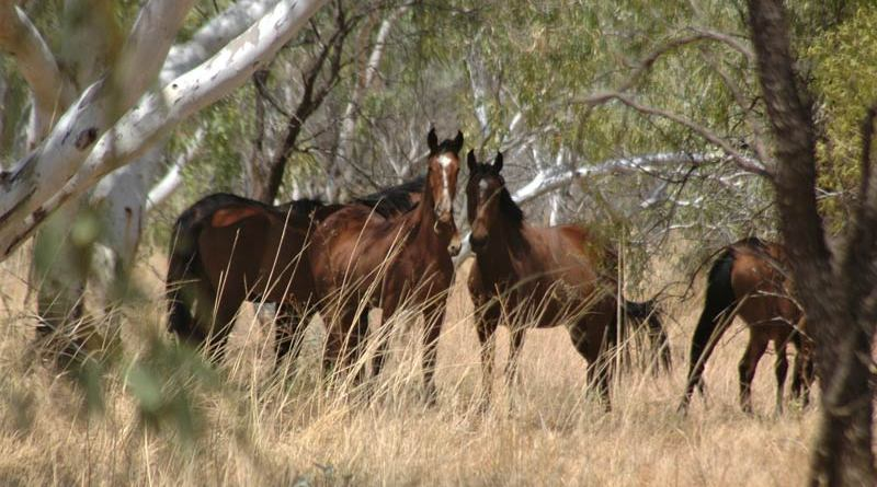 Brumbies peering out from Ghost Gum Forest of Lake Gregory in Western Australia.