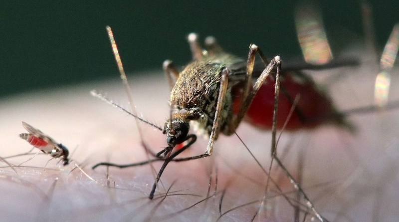 A tiny biting midge, left, beside a mosquito.
