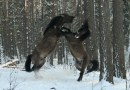 Wild Konik horses successfully managed for 70 years – review