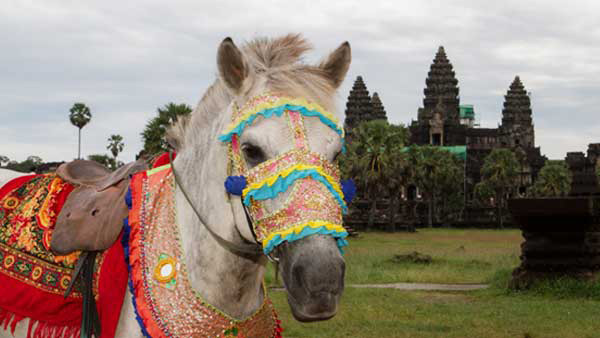 A pony decorated for a festival in Cambodia. Working ponies are widely used by communities in rural regions for transporting people, water and goods.