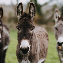Donkeys at The Donkey Sanctuary in Britain. © The Donkey Sanctuary