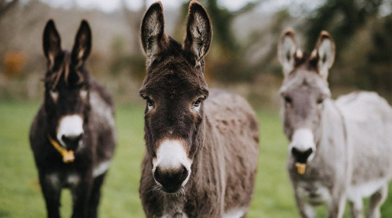 Donkeys at The Donkey Sanctuary in Britain.