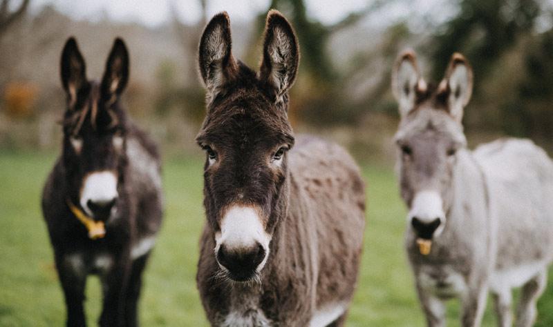 Donkeys at The Donkey Sanctuary in Britain.